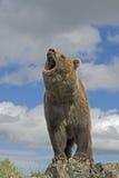 niedźwiedź grizzly Zdjęcia Royalty Free