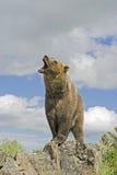 niedźwiedź grizzly zdjęcie royalty free
