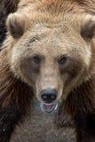 niedźwiedź grizzly opłat Zdjęcia Stock
