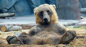 niedźwiedź grizzly się odprężyć obrazy royalty free
