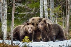 Niedźwiedź i Cubs Fotografia Royalty Free