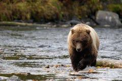 niedźwiedź idzie w Obrazy Royalty Free