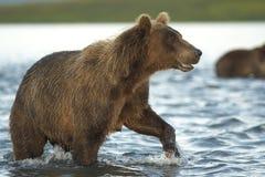 niedźwiedź idzie woda Obrazy Royalty Free