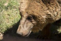 Niedźwiedź lubi target532_0_ Zdjęcie Royalty Free