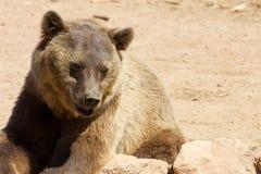 Niedźwiedź lubi target532_0_ Obraz Royalty Free