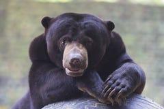 niedźwiedź malayan słońce Zdjęcia Stock
