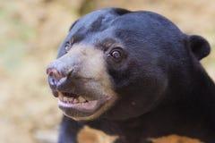 niedźwiedź malayan słońce Zdjęcia Royalty Free