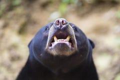 niedźwiedź malayan słońce Obraz Royalty Free