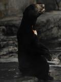 niedźwiedź malayan słońce Zdjęcie Stock
