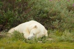 Niedźwiedź Polarny śpi w krzaku  zdjęcia royalty free