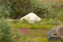 Niedźwiedź Polarny śpi w krzaku 2 obrazy stock