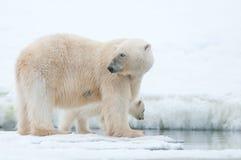 Niedźwiedź polarny Zdjęcia Stock