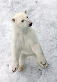 Niedźwiedź polarny zdjęcie royalty free
