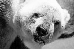 Niedźwiedź Polarny Obrazy Stock