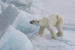 Niedźwiedź polarny chodzi na lodzie Obrazy Stock