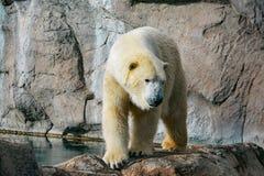 Niedźwiedź polarny chodzi na skałach zdjęcie royalty free