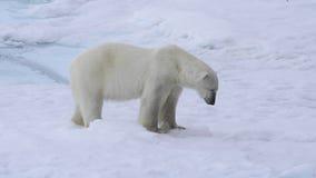 Niedźwiedź polarny chodzi w arktycznym zbiory