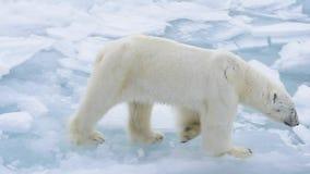 Niedźwiedź polarny chodzi w arktycznym zdjęcie wideo