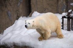 Niedźwiedź polarny chodzi wokoło klatki z białym futerkiem obraz stock