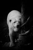 Niedźwiedź Polarny Czarny i biały Obrazy Royalty Free