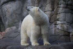 Niedźwiedź polarny dostać coś Zdjęcia Royalty Free