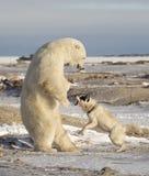Niedźwiedź Polarny i pies Fotografia Royalty Free