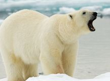 Niedźwiedź Polarny, IJsbeer, Ursus maritimus obraz stock