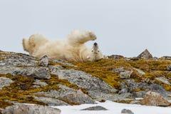 Niedźwiedź polarny jedzie na plecy zdjęcia royalty free