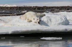 Niedźwiedź polarny kłama i ziewa na śnieżnym brzeg blisko wody obrazy royalty free