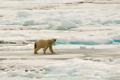 Niedźwiedź Polarny Lodowa paczka Zdjęcia Stock
