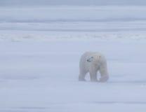 Niedźwiedź polarny na arktycznej tundrze w Manatoba, Kanada podczas 30mph meandruje fotografia royalty free