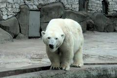 Niedźwiedź polarny na brzeg Zdjęcia Royalty Free