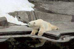 Niedźwiedź polarny na brzeg Zdjęcie Royalty Free