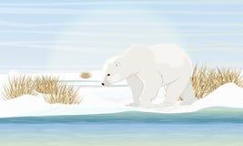 Niedźwiedź polarny na brzeg morzem Sucha trawa, śnieg Zwierzęta Arktyczny okrąg royalty ilustracja