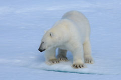 Niedźwiedź polarny na lodzie Zdjęcie Stock