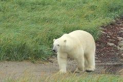 Niedźwiedź Polarny na piaskowatej drodze przemian zdjęcie royalty free