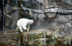 Niedźwiedź polarny na skałach Obrazy Royalty Free