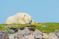 Niedźwiedź Polarny na trawiastym pagórku 6 obraz royalty free