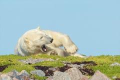 Niedźwiedź Polarny na trawiastym pagórku 7 obraz royalty free