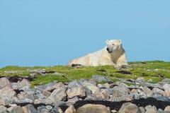 Niedźwiedź Polarny na trawiastym pagórku 1 obrazy stock