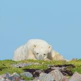 Niedźwiedź Polarny na trawiastym pagórku 8 obraz stock