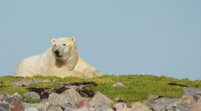 Niedźwiedź Polarny na trawie  obraz stock
