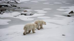 Niedźwiedź polarny na tundrze śnieg Kanada zdjęcia stock