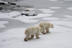 Niedźwiedź polarny na tundrze śnieg Kanada obraz royalty free