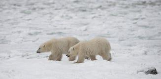Niedźwiedź polarny na tundrze śnieg Kanada obrazy stock