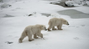 Niedźwiedź polarny na tundrze śnieg Kanada zdjęcie royalty free