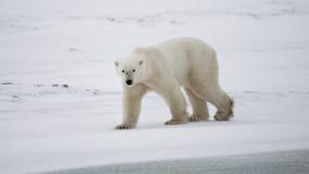 Niedźwiedź polarny na tundrze śnieg Kanada zdjęcie stock