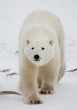 Niedźwiedź polarny na tundrze śnieg Kanada fotografia royalty free