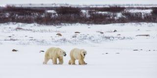 Niedźwiedź polarny na tundrze śnieg Kanada obraz stock