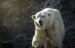 Niedźwiedź polarny, niebezpieczna przyglądająca bestia w zoo Obrazy Royalty Free